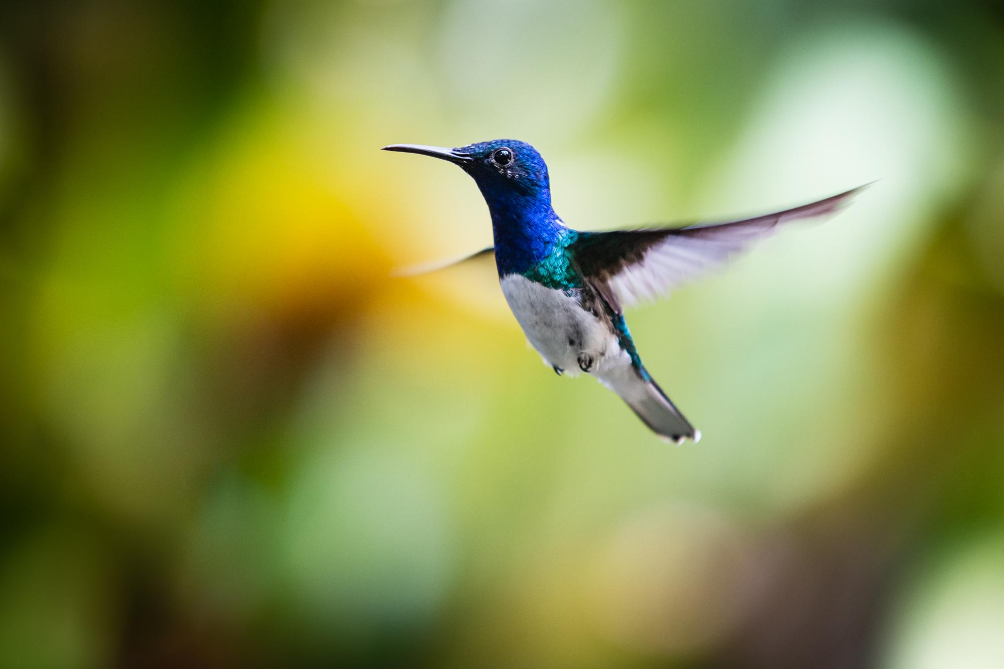 kolibri mindo ecuador